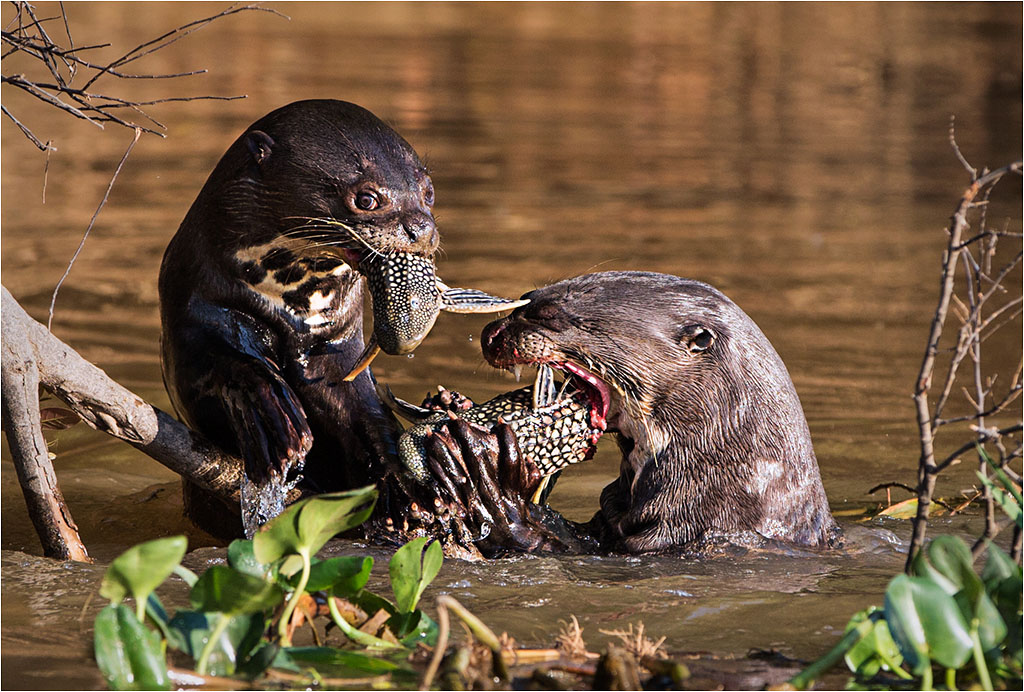 GIANT OTTERS © Ian Francis ARPS DPAGB