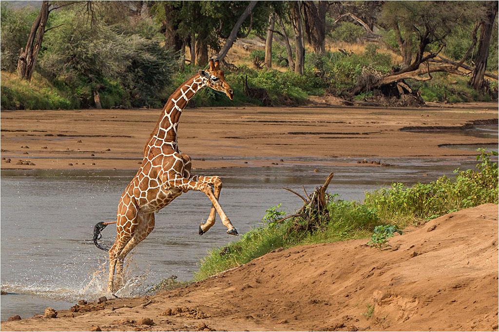 RETICULATED GIRAFFE © Ian Francis ARPS DPAGB
