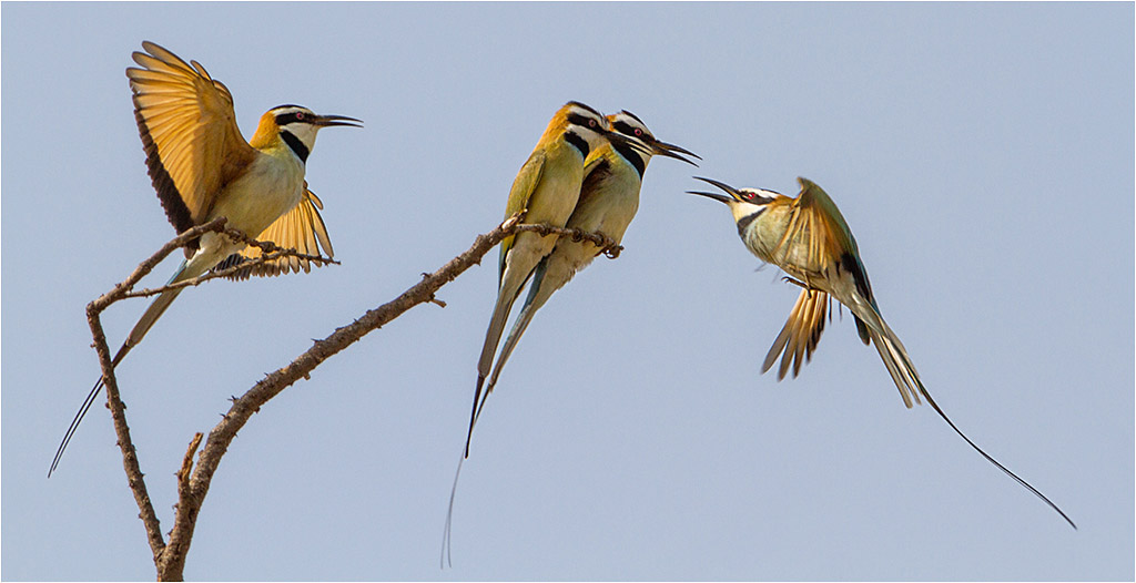 WHITE THROATED BEE EATER © Ian Francis ARPS DPAGB