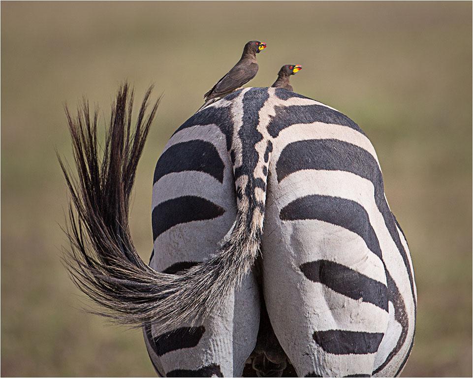ZEBRA CROSSING © Ian Francis ARPS DPAGB
