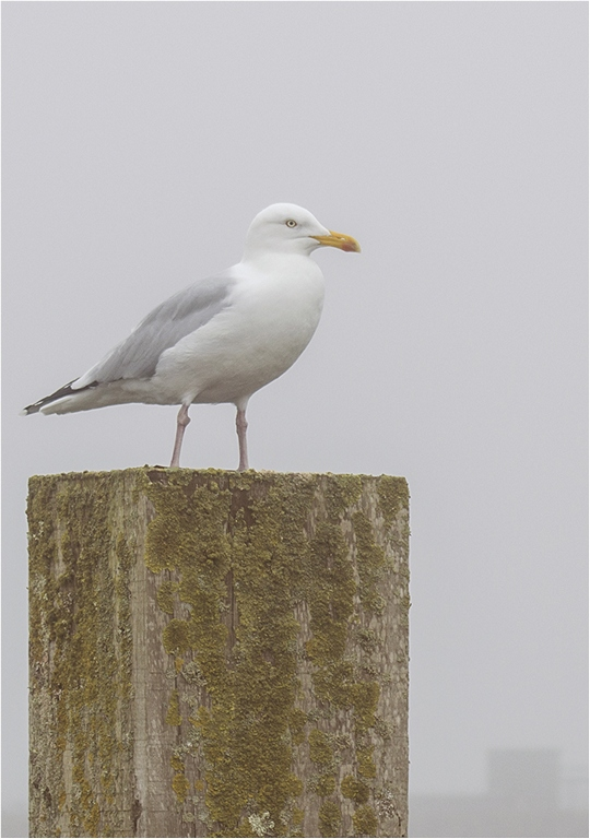 Herring Gull © Neil Grimshaw