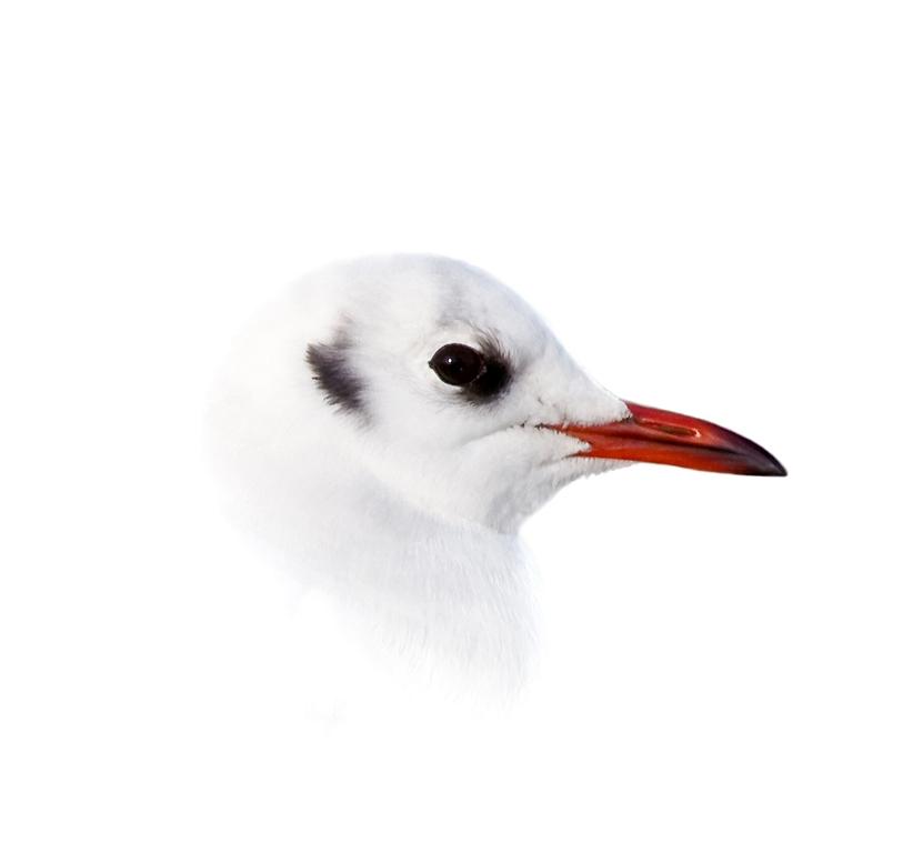 Juvenile Black Headed Gull © Lyn Rendall