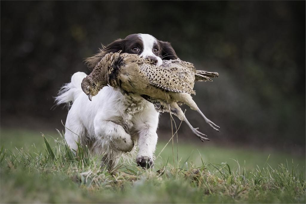 Sprocker Running with Pheasant © Jules Syrett