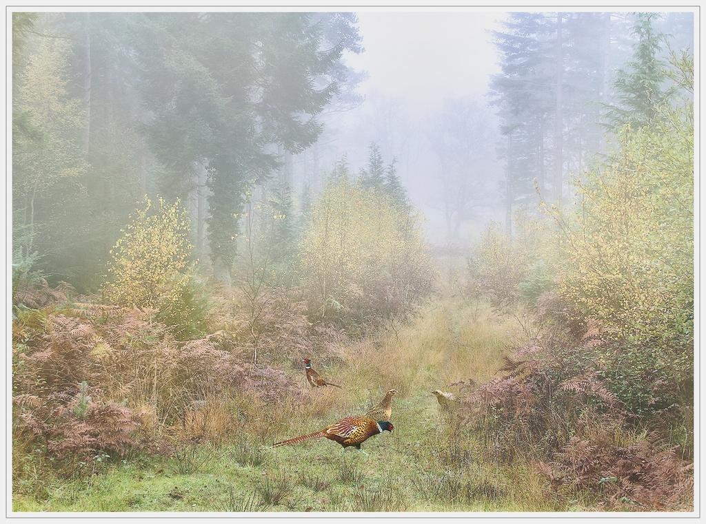 Pheasants in the Mist  © Lyn Rendall