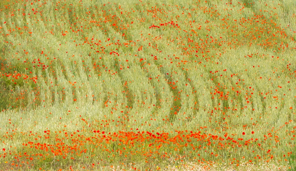 Poppies © Jim Young