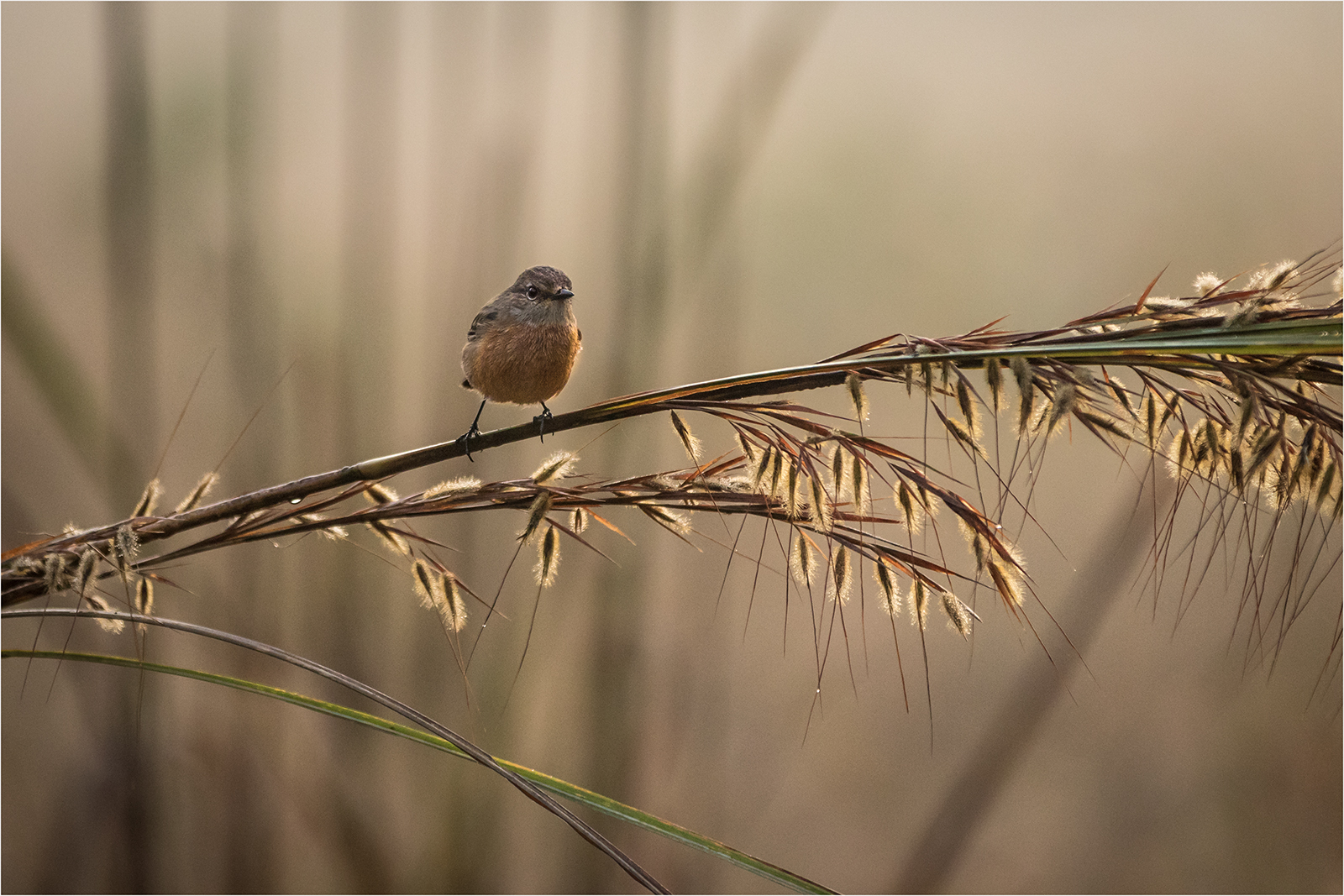 242_ Stone Chat Early Morning_Ian Francis ARPS, DPAGB.jpg