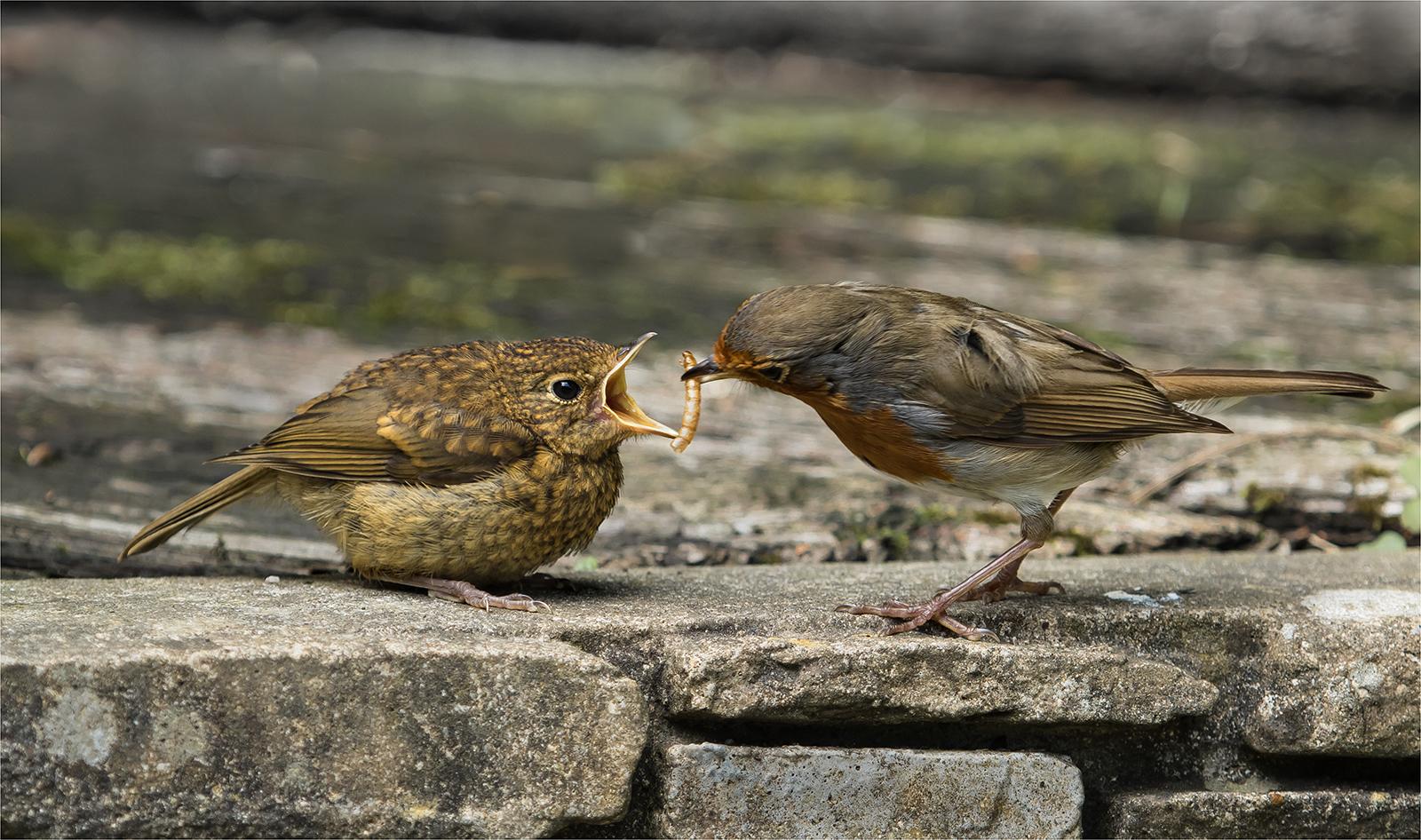 244_Robin Feeding Young_Lyn Rendall.jpg