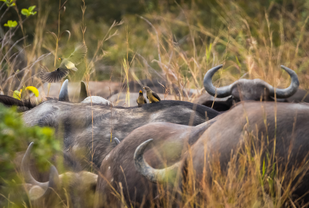 Oxpeckers with cape buffalo ©  Klaus Eberlin