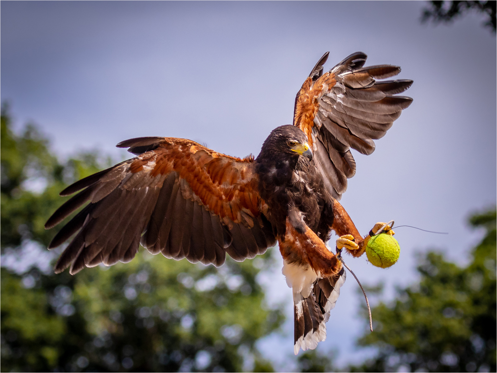 240 Hawkeye at the tennis.jpg