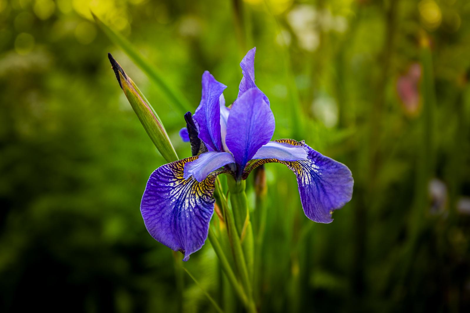 Blue Iris pdi.jpg