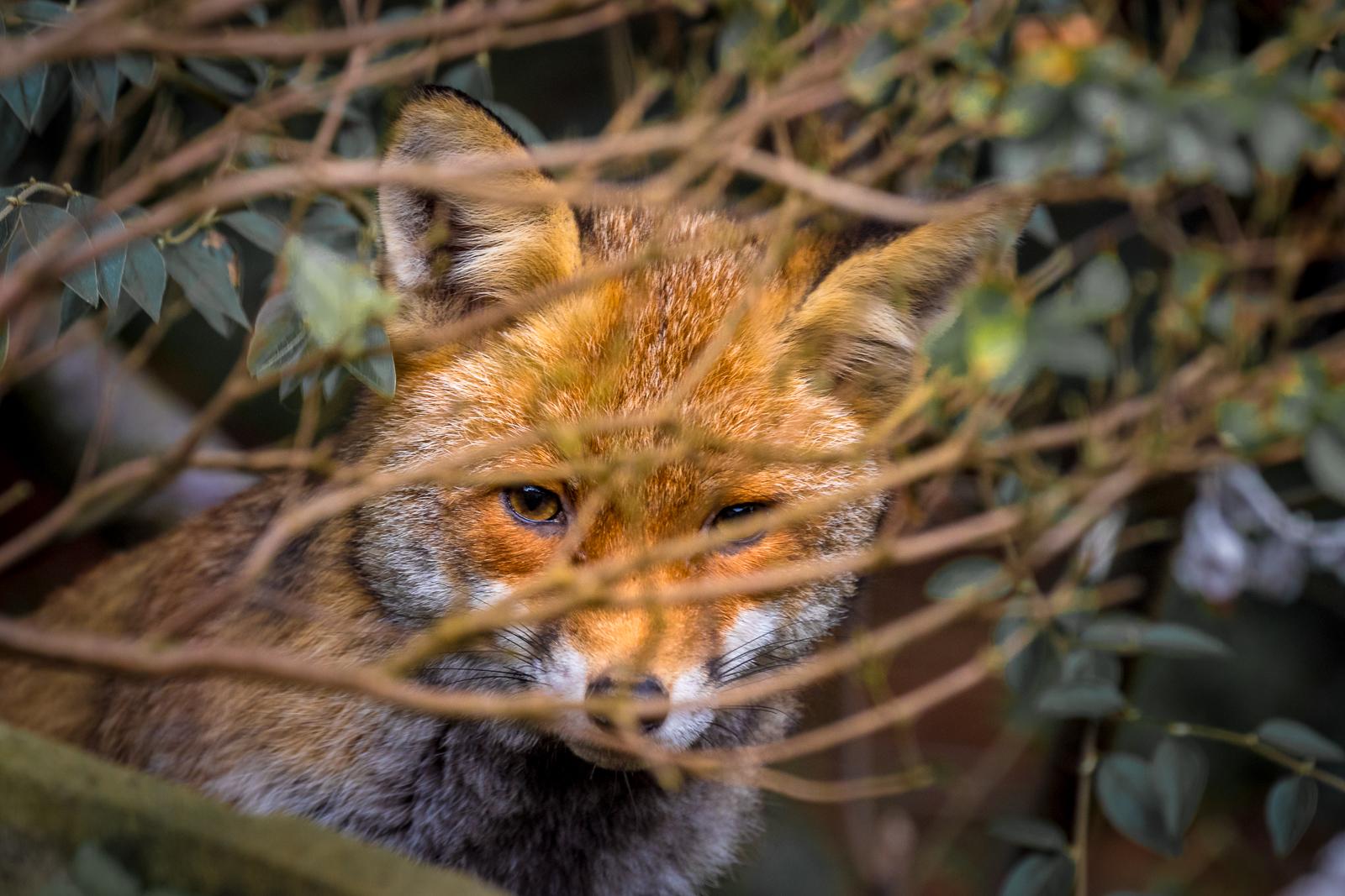 Fox cub hiding in bushes pdi.jpg