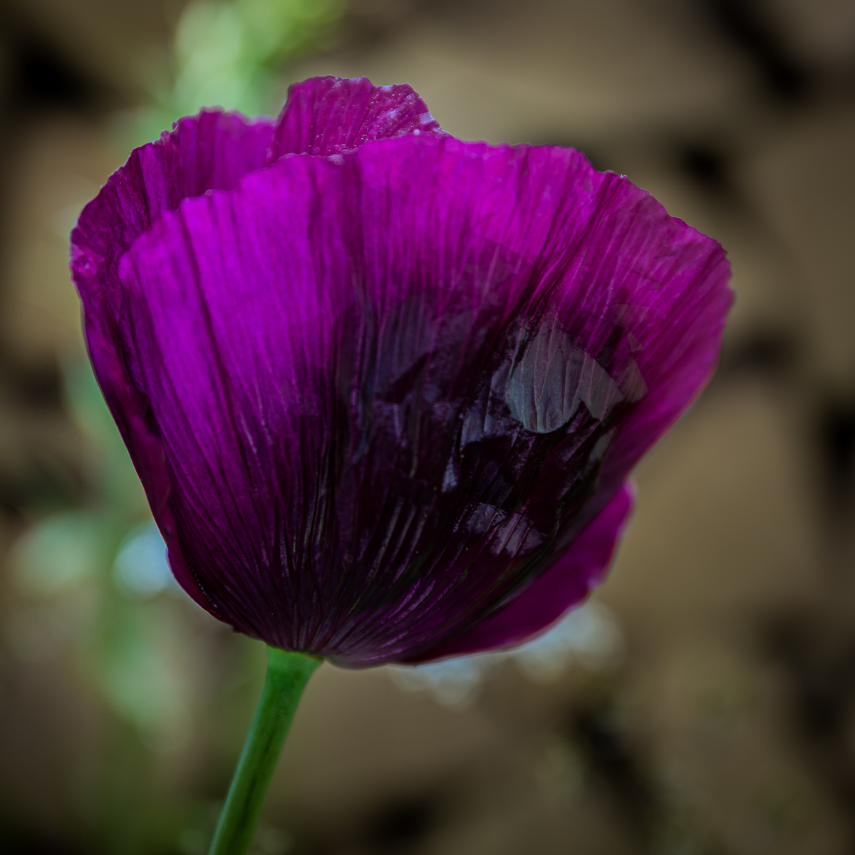 Purple Poppy pdi.jpg