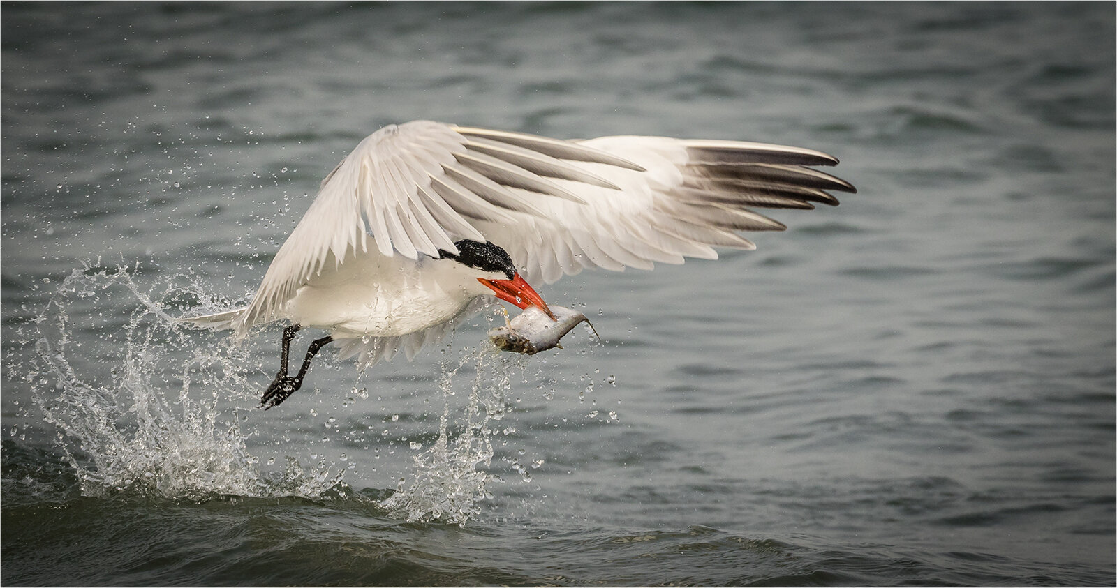 Caspian Tern with Catch © Ian Francis ARPS DPAGB