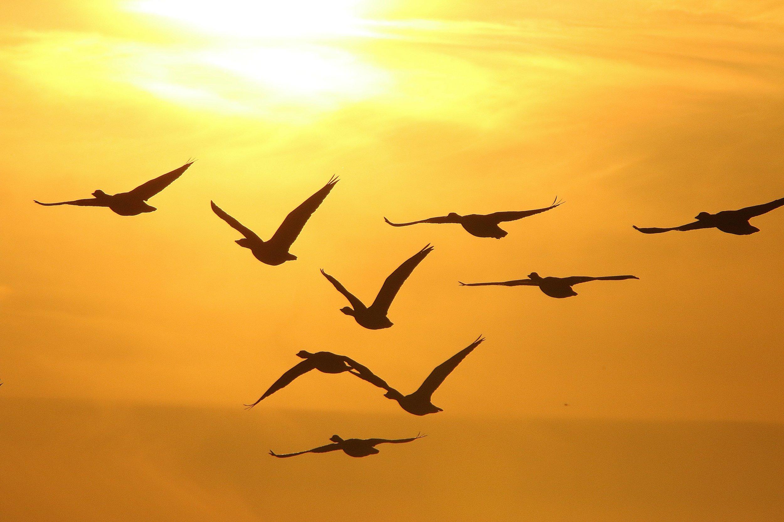 geese-3458177.jpg