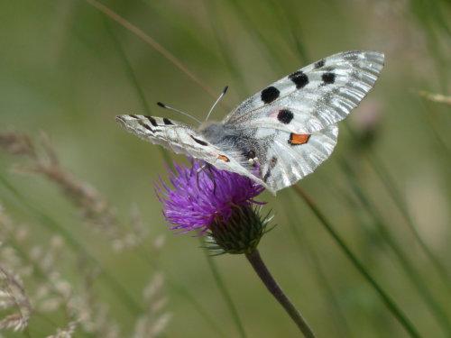 Vlinder 2 96.jpg