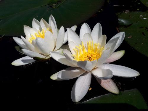 lotus 96.jpg