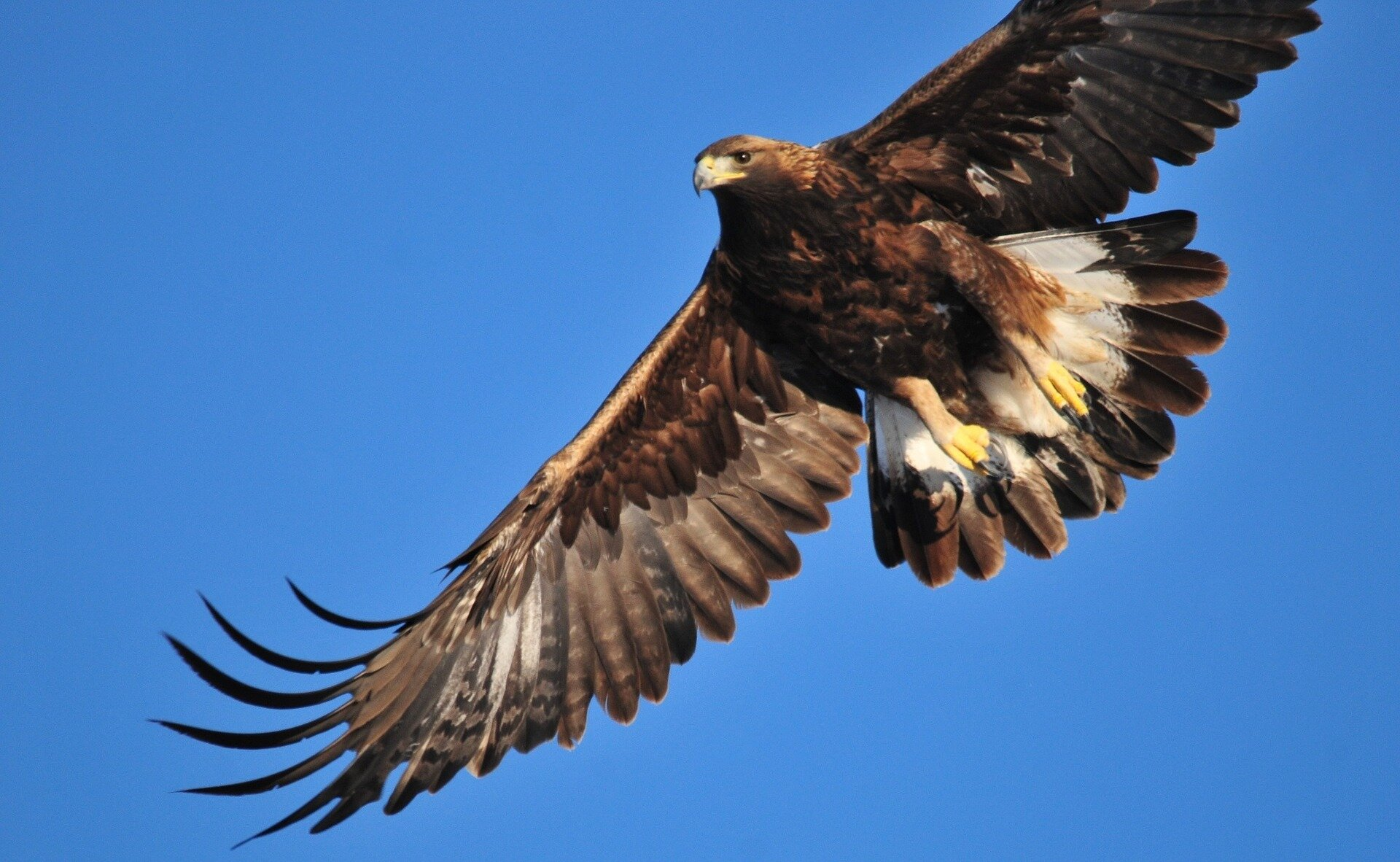 golden-eagle-1665317_1920.jpg