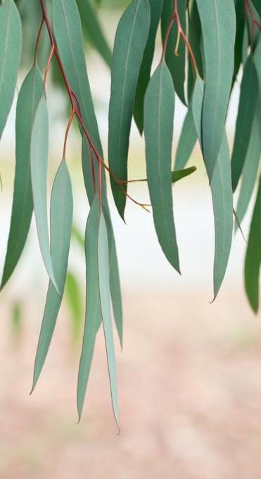 eucalyptus-leaves.jpg