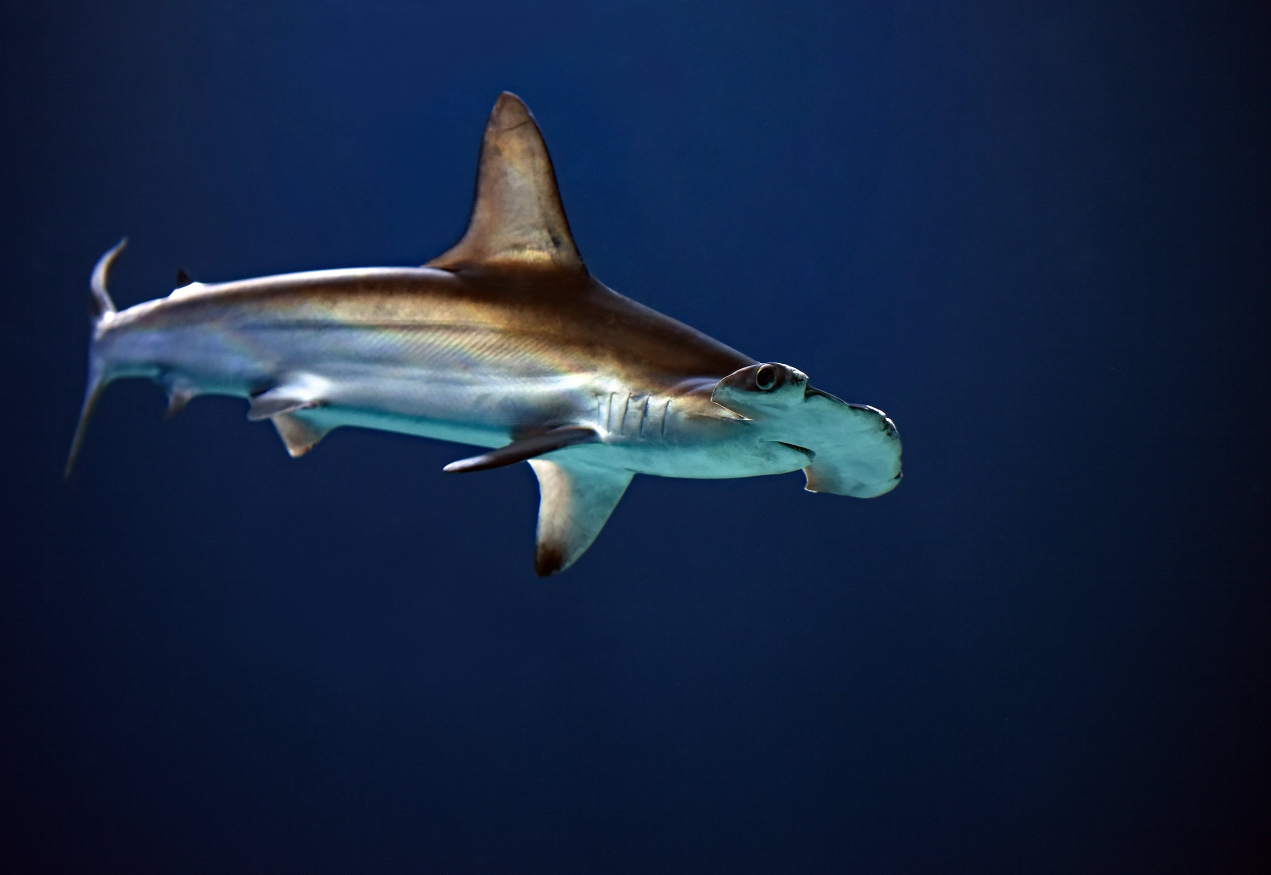 Hammerhead Shark - Easily my favorite shark of the bunch. Look at that distinguished head. Others may say they're