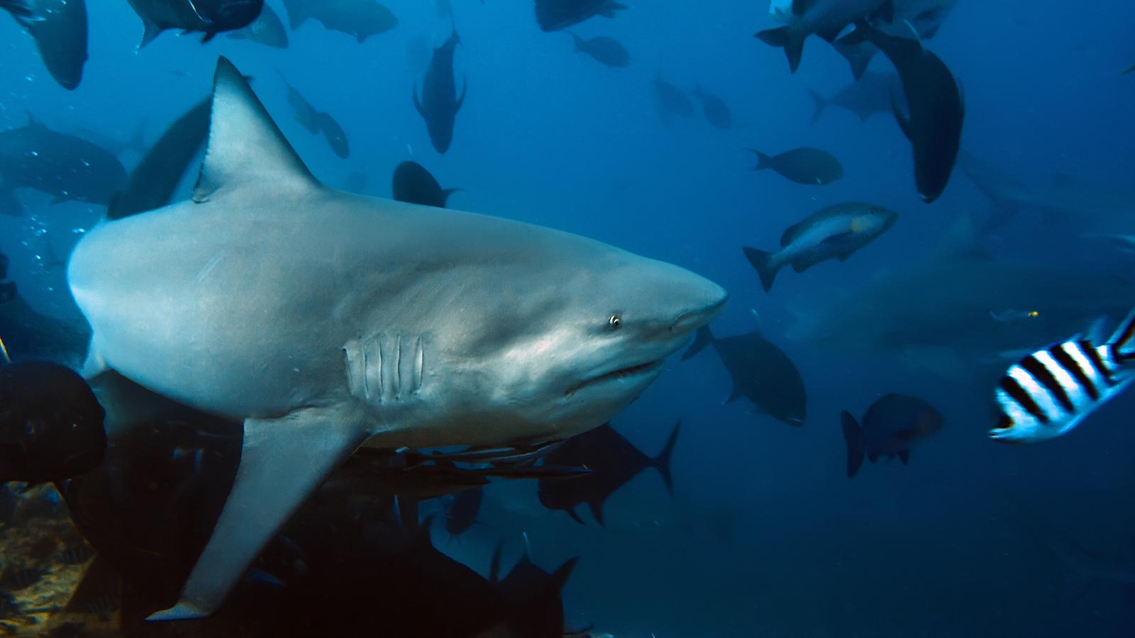 Bull Shark -