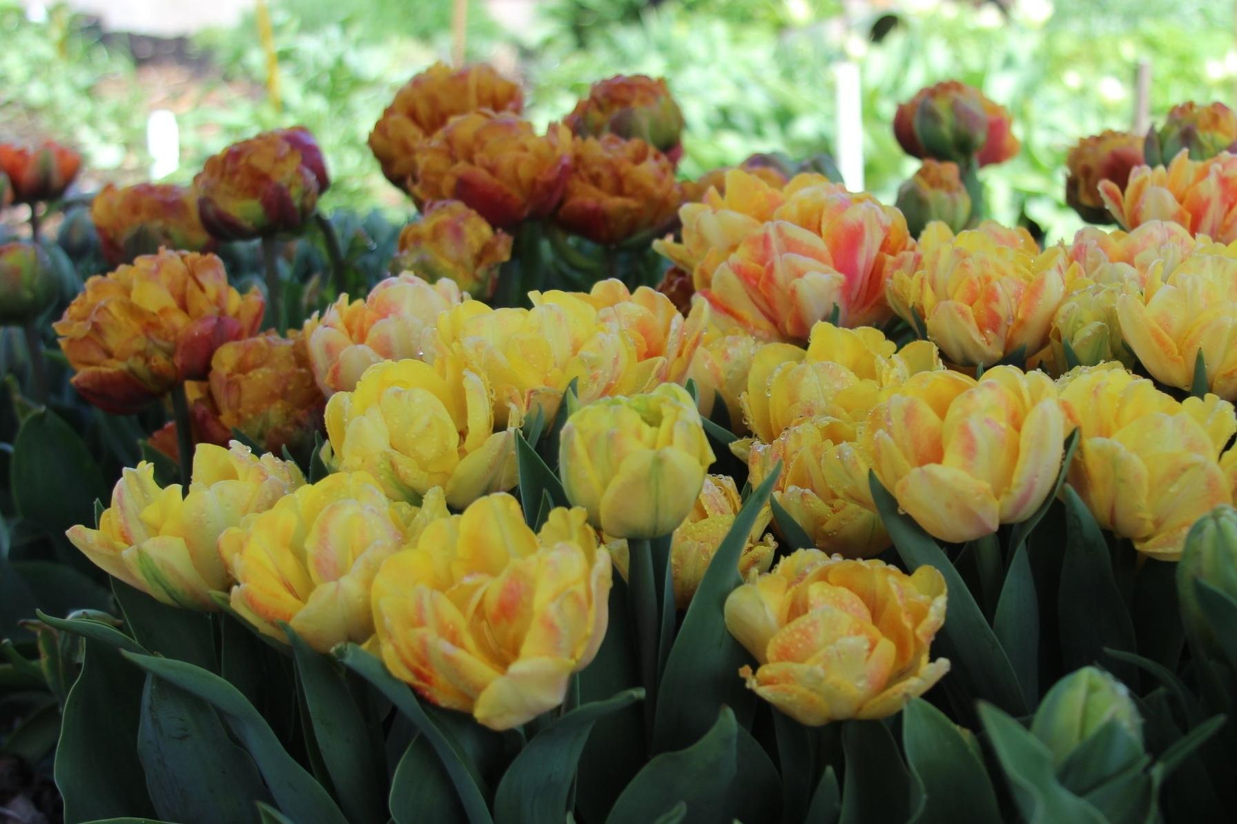 Hori Hori Flowers -