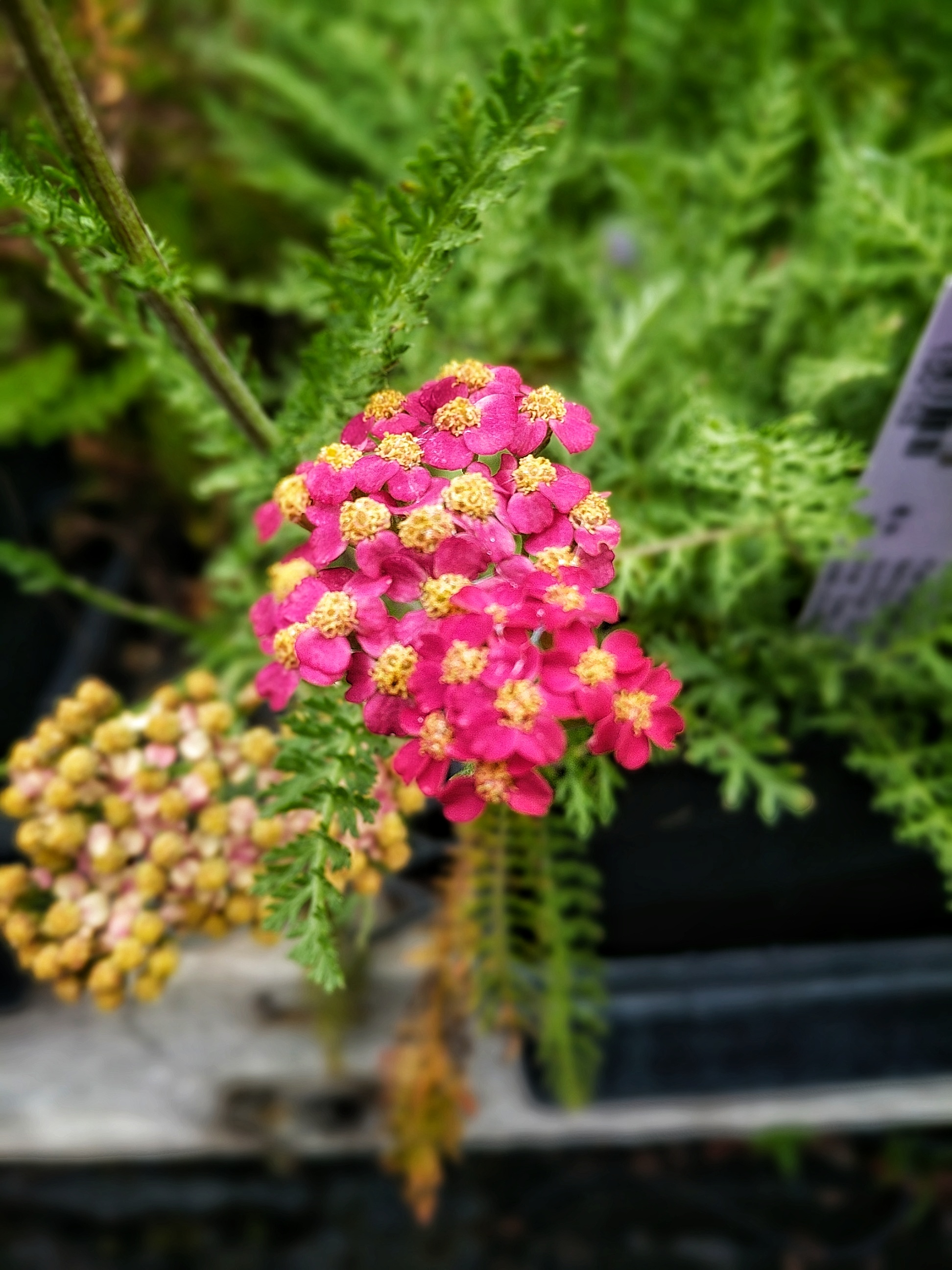 Achillea millefolium, 'Paprika'  Yarrow is long blooming and will quickly create large patches