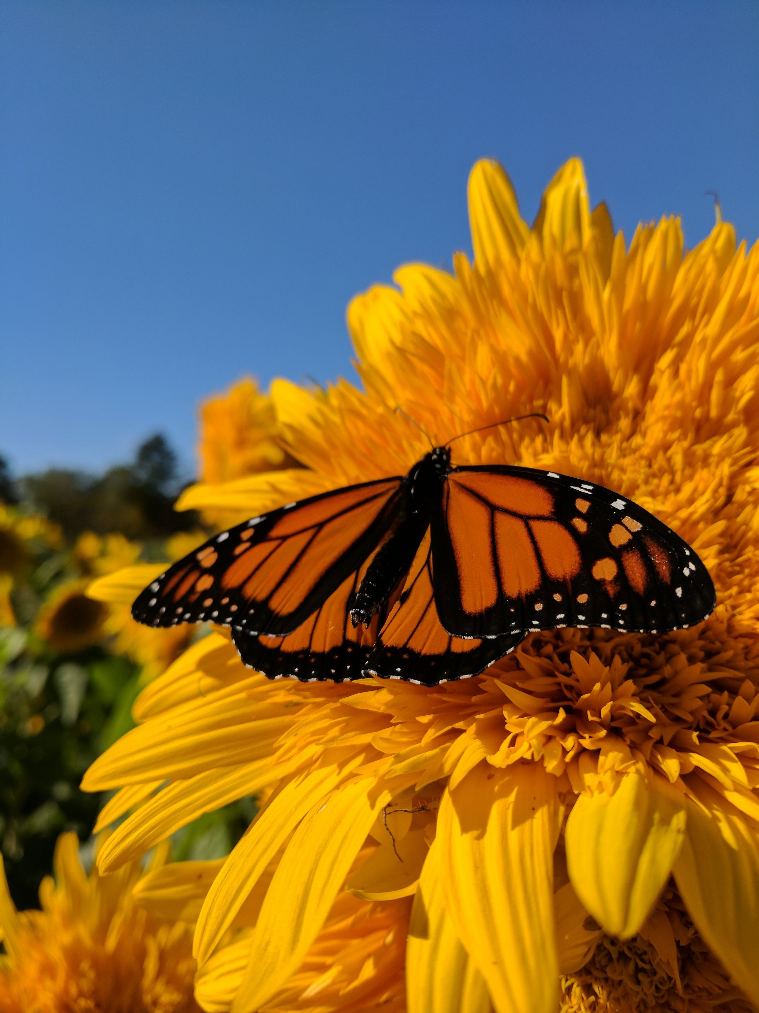 Late summer Monarch preparing for the long journey south for winter