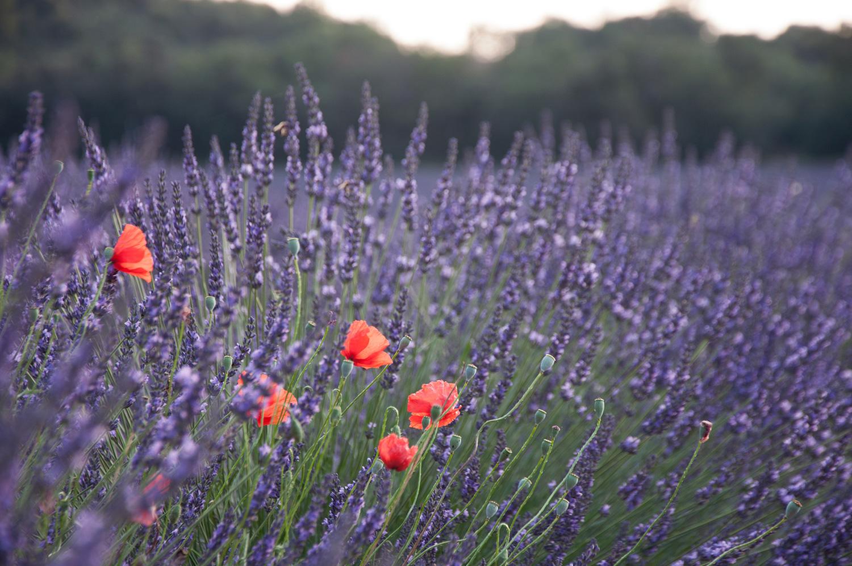 objectsaroundtheworld.com_lavender_other_colour_01.jpg