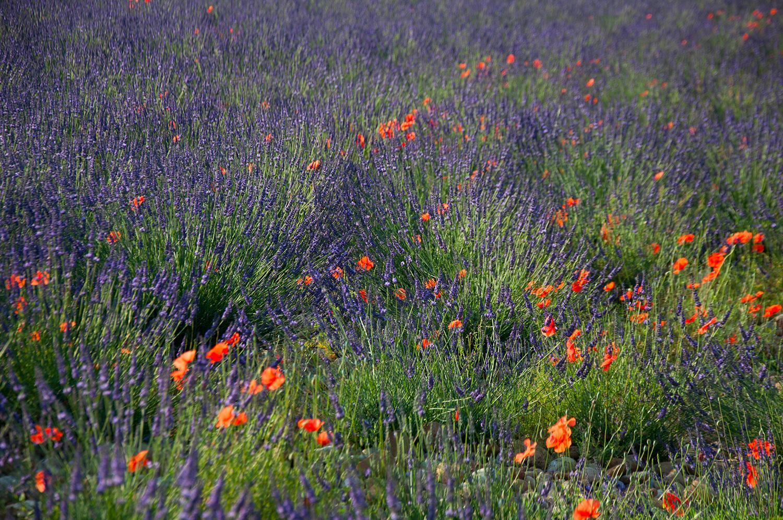objectsaroundtheworld.com_lavender_other_colour_05.jpg