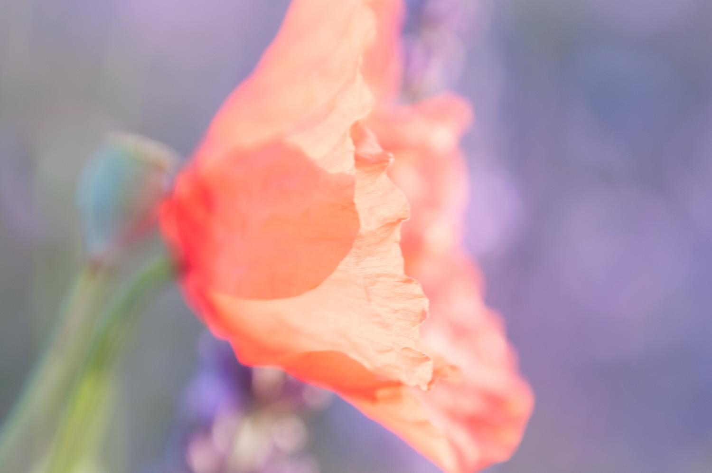objectsaroundtheworld.com_lavender_other_colour_12.jpg