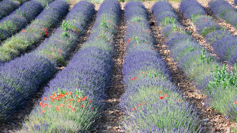 objectsaroundtheworld.com_lavender_other_colour_25.jpg
