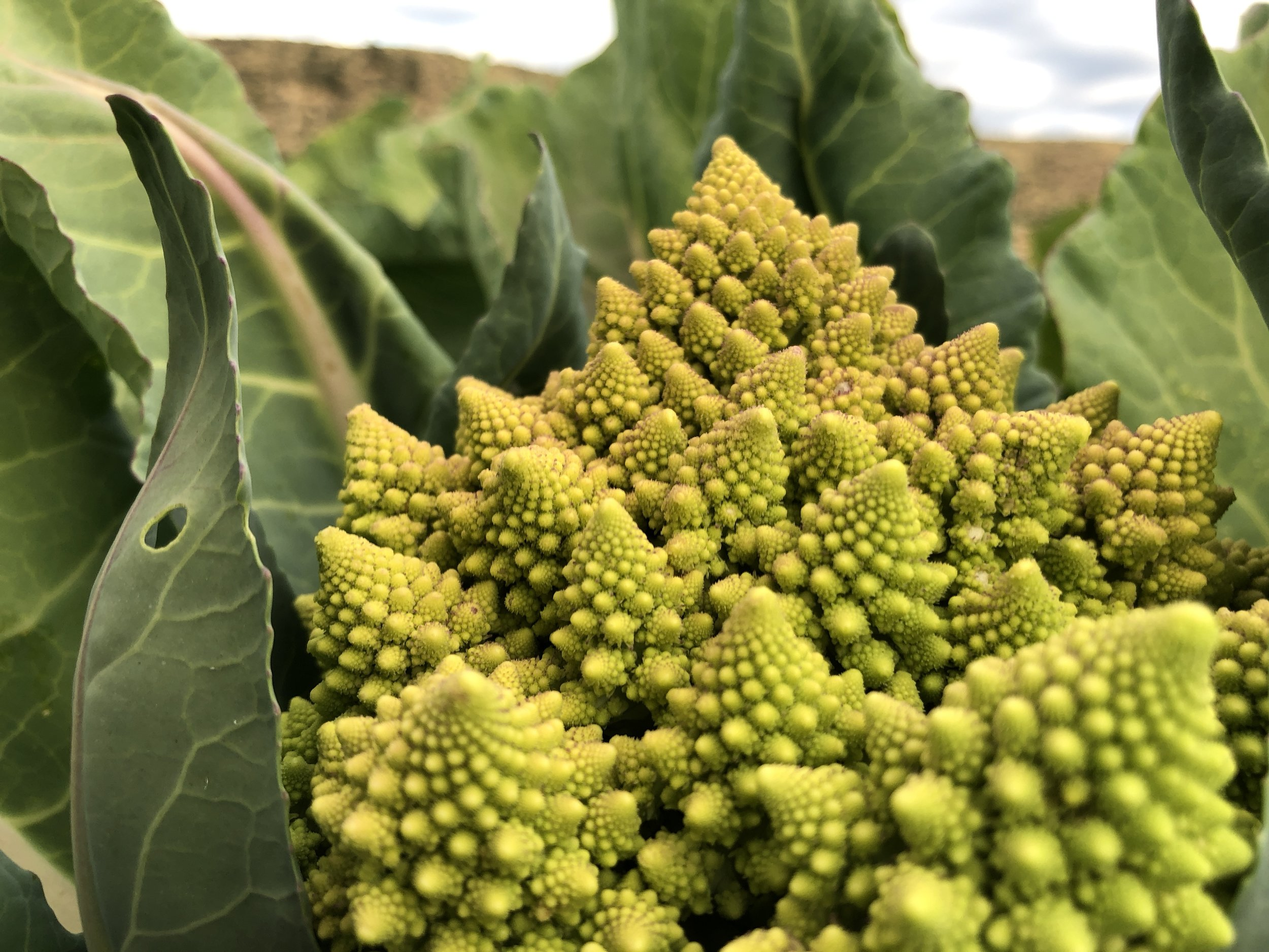 The golden ratio forming repeated, fractal growth in a gorgeous, delicious Romanesco cauliflower.