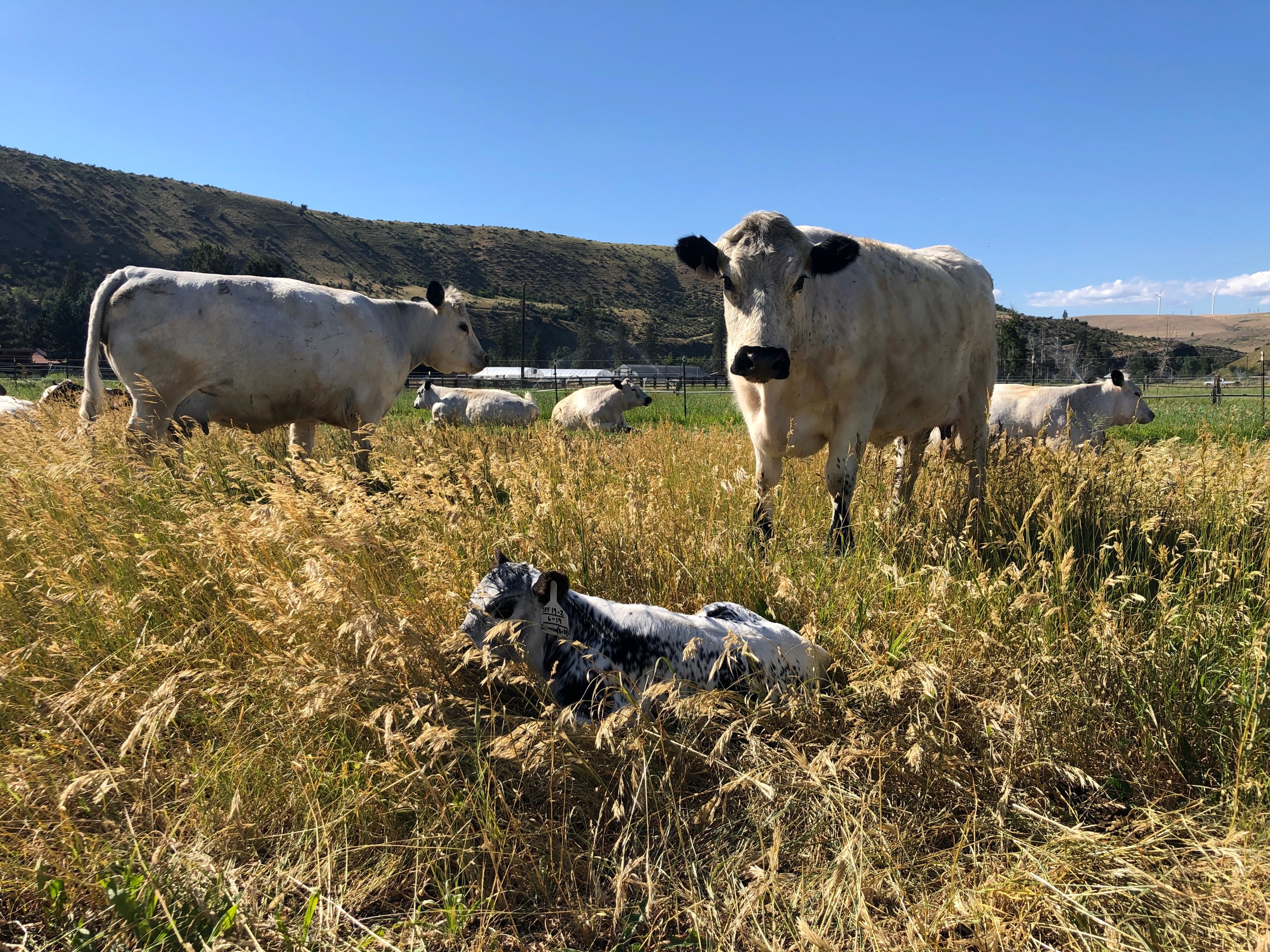 A brand-new calf at Spoon Full Farm