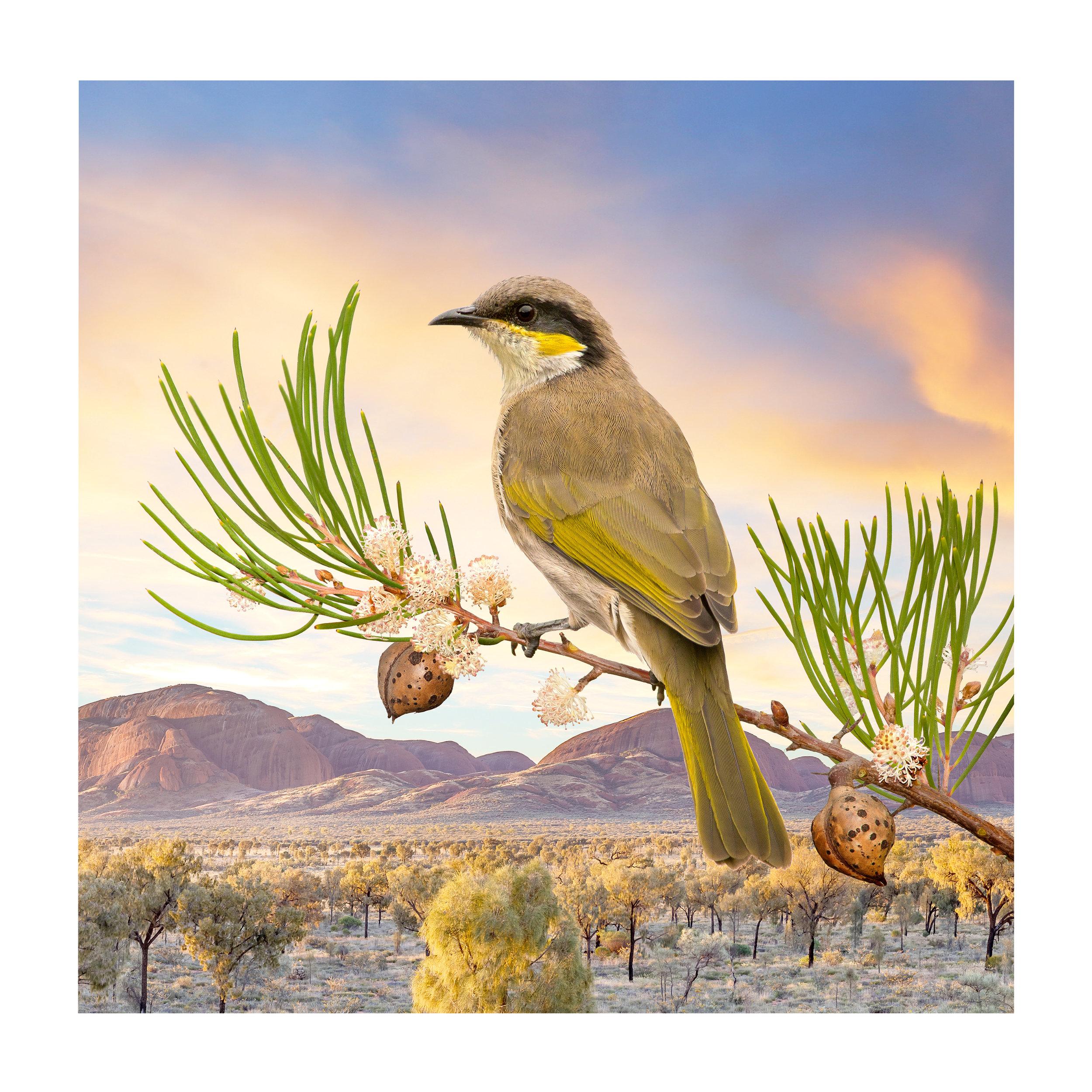 Gavicalis virescens