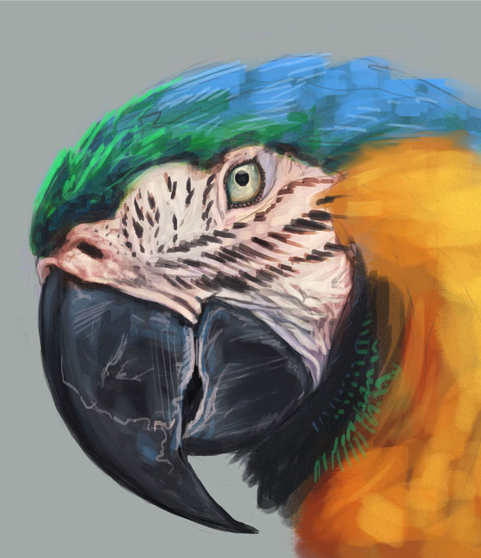 macaw_study.jpg