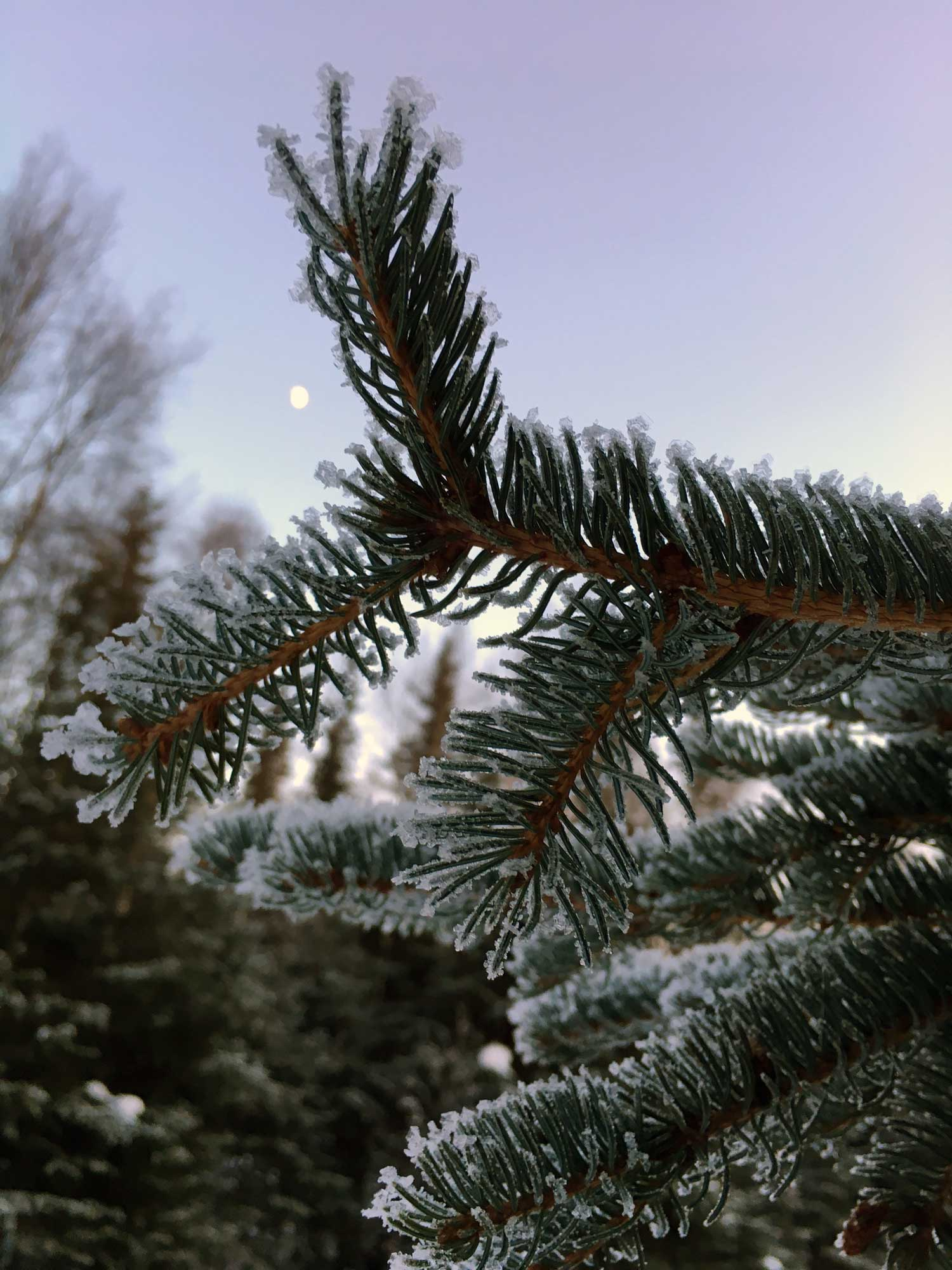 Snowy-Spruce-Bough.jpg