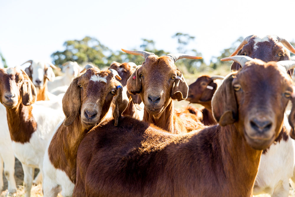 Goats-2.jpg