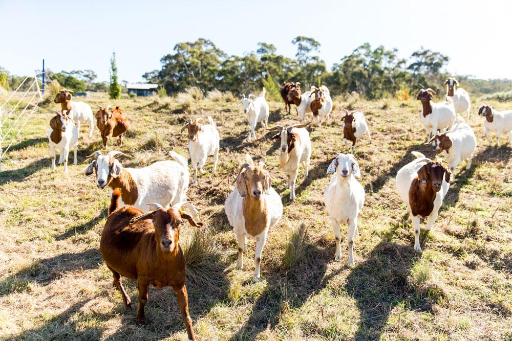 Goats-1.jpg