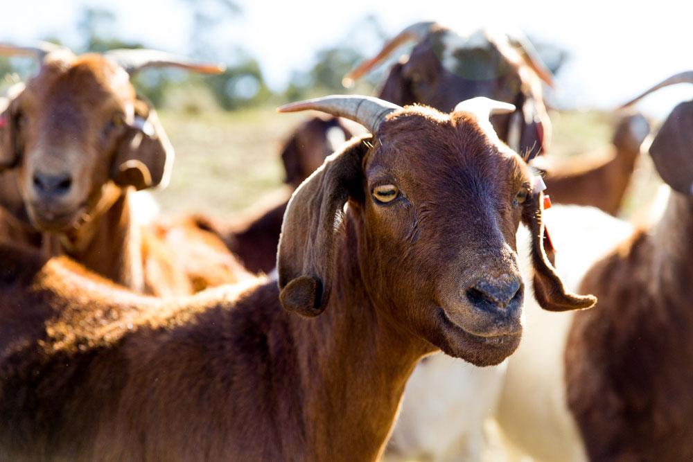 Goats-3.jpg