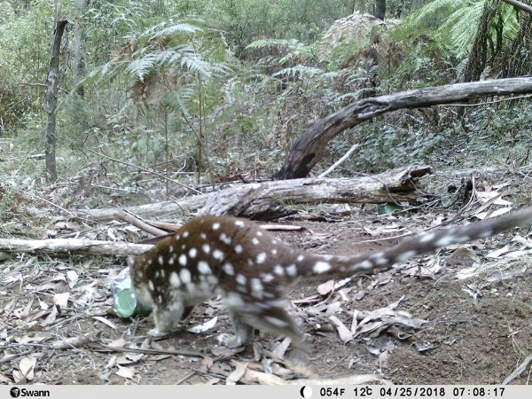 Above: Spot-tailed quoll caught on camera in the forest of Mt Baw Baw. Photo courtesy of Milan Stupar.