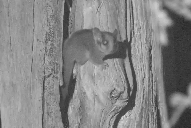 Above: A critically endangered Leadbeater's Possum detected on a survey.