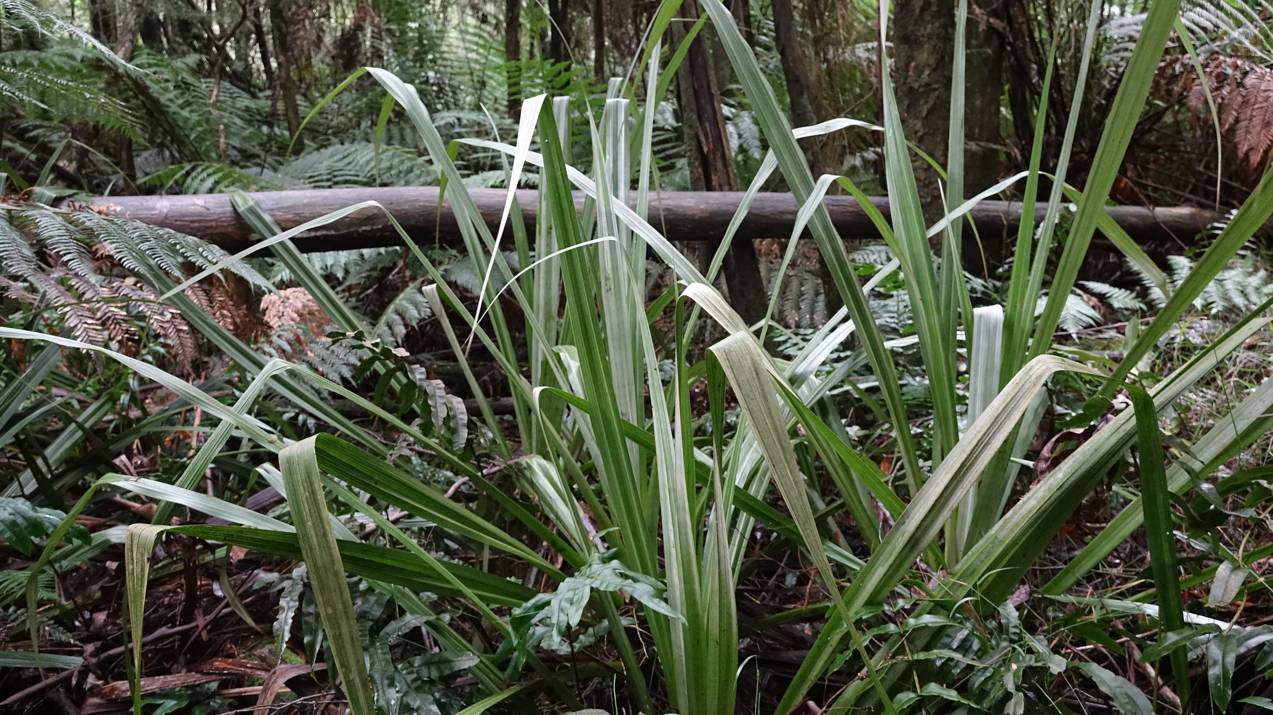 The Tall Astelia Lily is listed as Vulnerable under the  Environment Protection and Biodiversity Conservation Act 1999 (Cth)