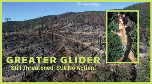 Greater glider still threatened still no action
