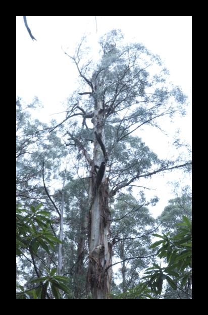 Hollow-bearing Mountain Ash tree within the Murrindindi logging coupe