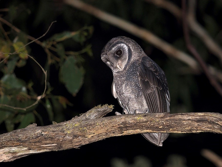 Sooty Owl, photograph by Tim Bawden.