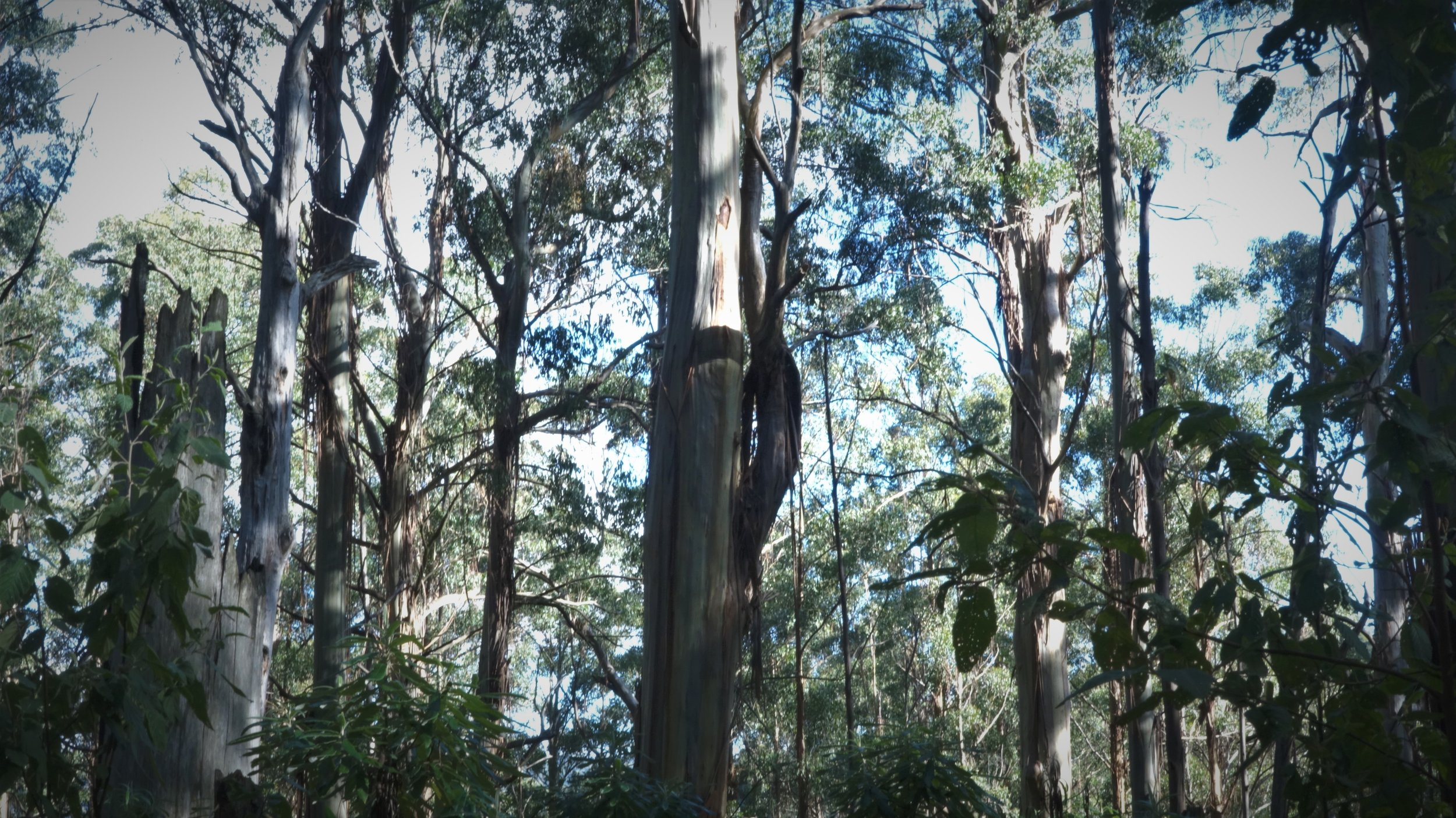 Old Growth Mountain Ash forest within the Murrindindi logging coupe