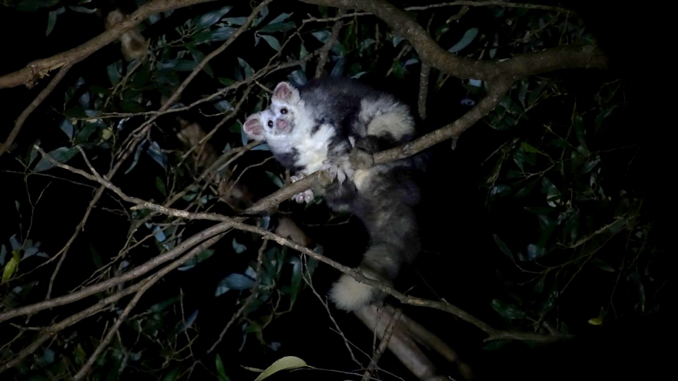 Greater Glider detected within the Murrindindi logging coupe