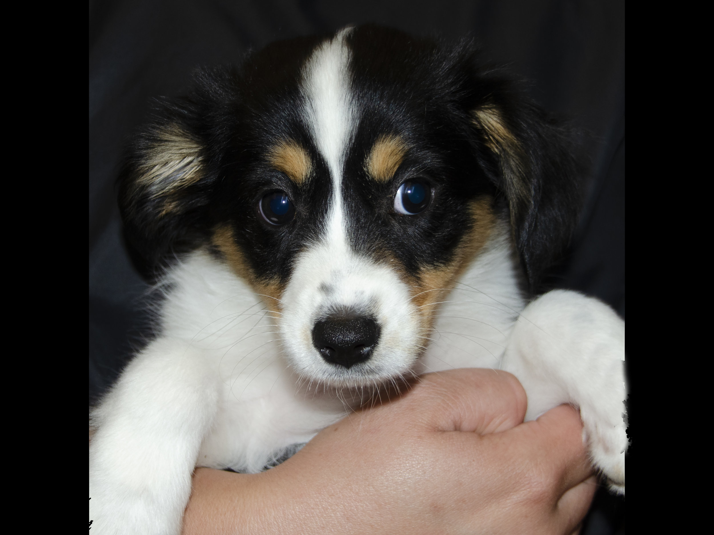 Mini Australian Shepherd; Female; DOB: 4/6/19