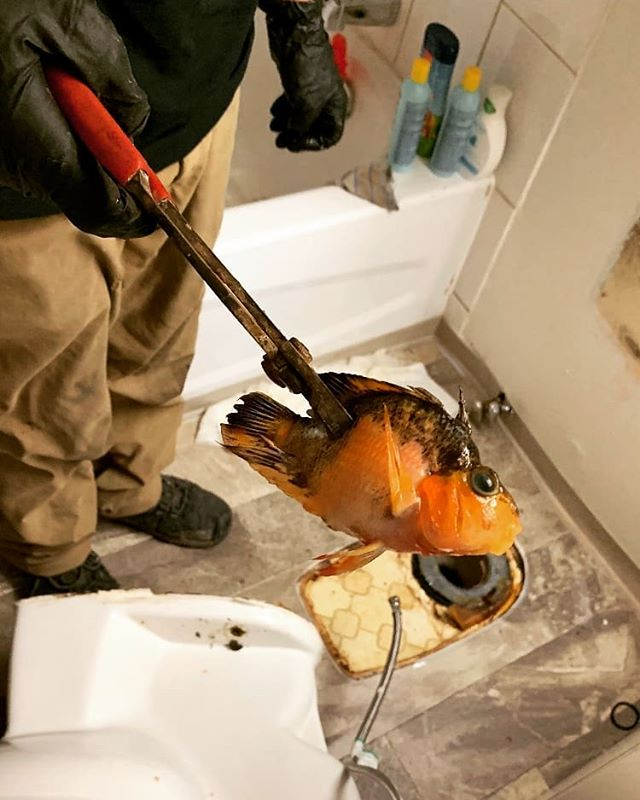 The photo says it all  S.A.H. Plumbing Services Ltd. 1-855-824-1508  #sahplumbing #plumbing #fishing #goldfish #keeper #vancouverplumber #fallscreek #granvilleisland #englishbay #photooftheday #instagood #dinner #plumbingcontractor