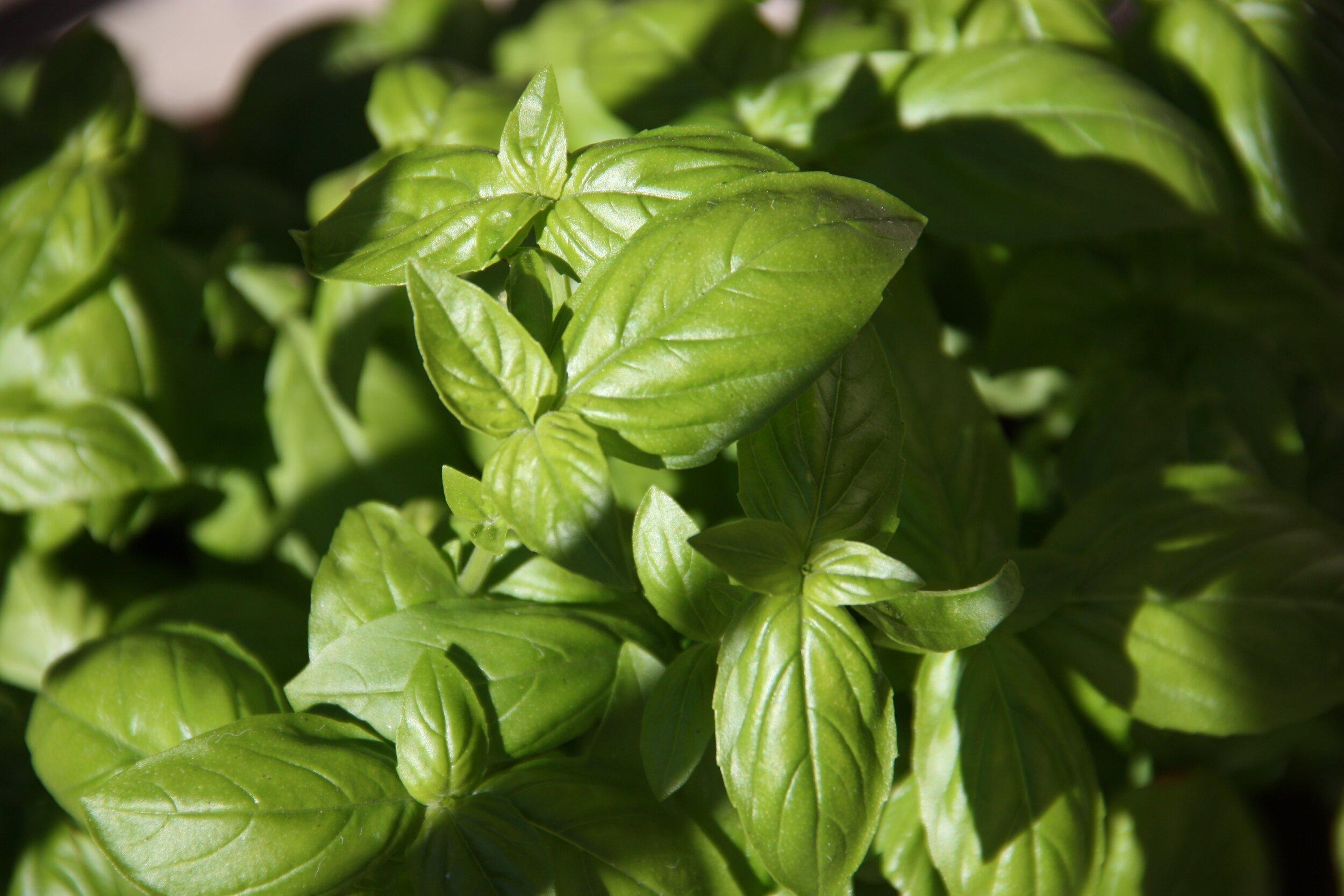 Herbs, particularly basil, are an anchor of Ligurian cuisine. (Photograph: Alissa De Leva, Unsplash)